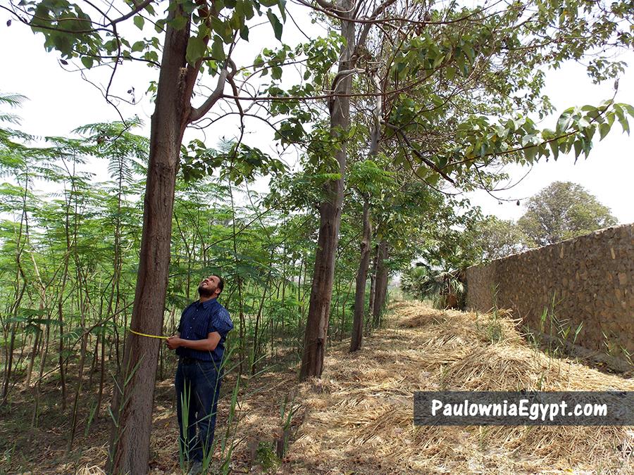 أشجار باولونيا فى مصر - الجمعية المصرية للباولونيا