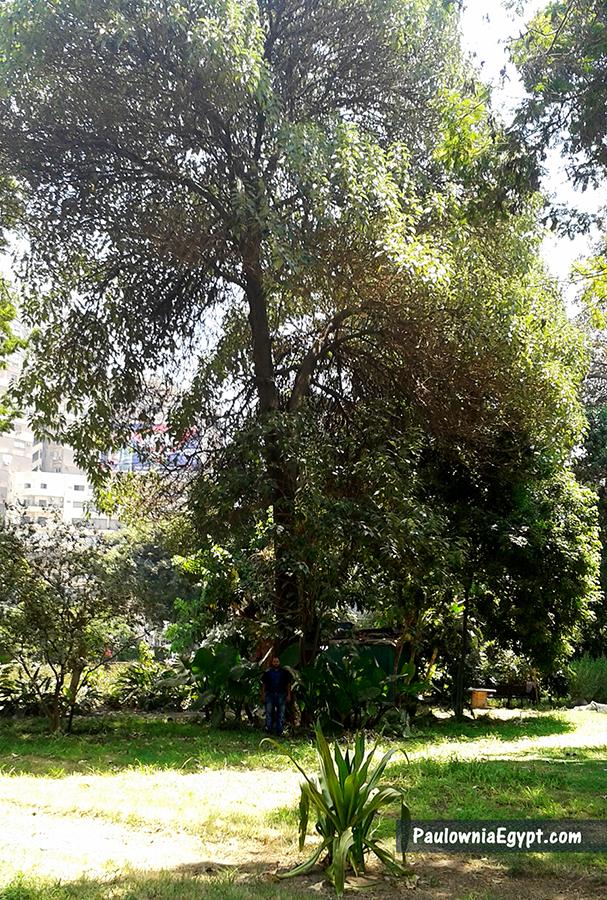 شجرة الباولونيا فى مصر