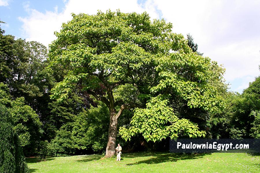 شجرة الباولونيا في مصر