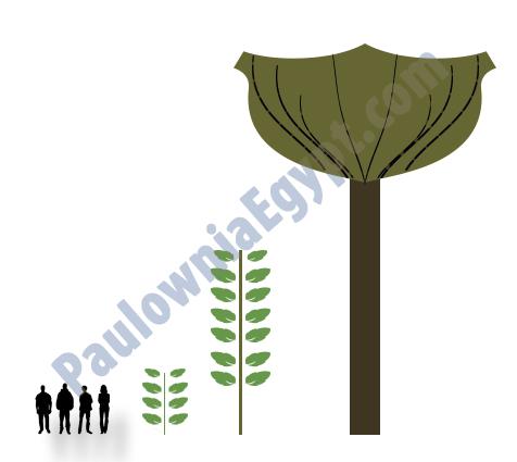 اسرع شجرة تنمو فى العالم الباولونيا - أميرة الأشجار - شجرة الباولونيا