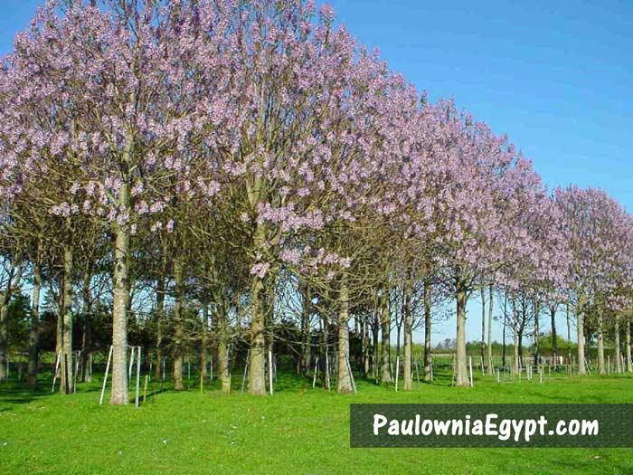 أزهار شجرة الباولونيا - الجمعية المصرية للباولونيا