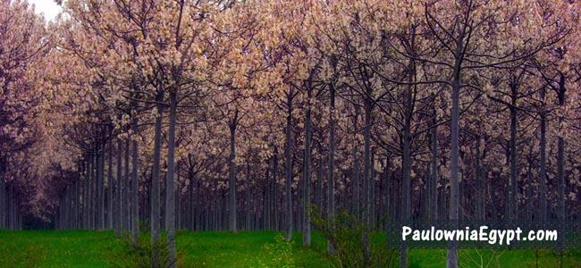 غابة من أشجار الباولونيا _ أميرة الأشجار