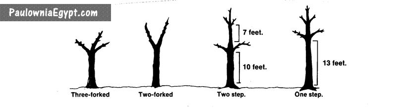 تقليم شجرة الباولونيا