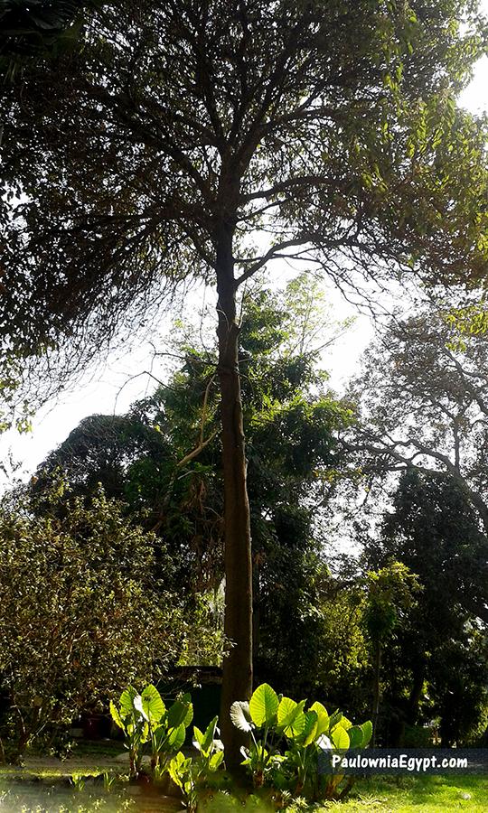 أشجار باولونيا في مصر - شجرة باولونيا فى مصر - الجمعية المصرية للباولونيا
