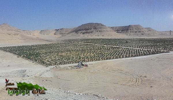 غابة باولونيا مصر (6)
