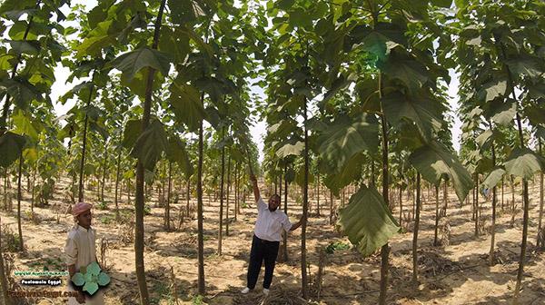 مزرعة باولونيا بنى سلامة وادى النطرون (11)