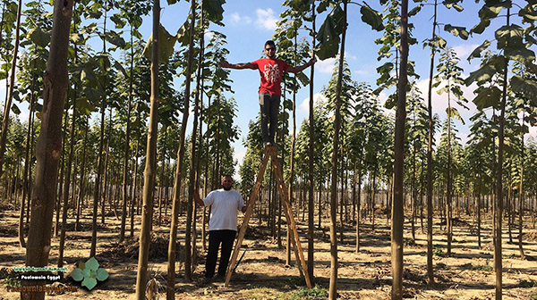 مزرعة باولونيا بنى سلامة وادى النطرون (13)