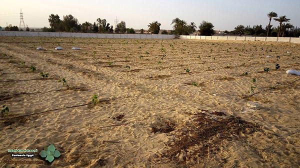 مزرعة باولونيا بنى سلامة وادى النطرون (2)