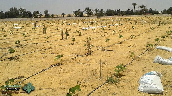مزرعة باولونيا بنى سلامة وادى النطرون (3)