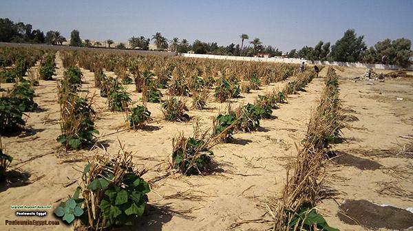 مزرعة باولونيا بنى سلامة وادى النطرون (5)