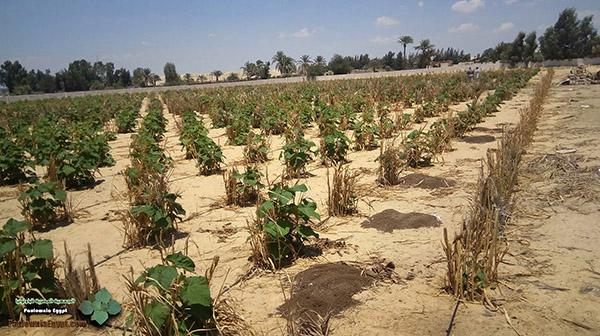 مزرعة باولونيا بنى سلامة وادى النطرون (6)