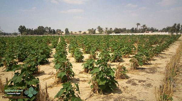 مزرعة باولونيا بنى سلامة وادى النطرون (7)