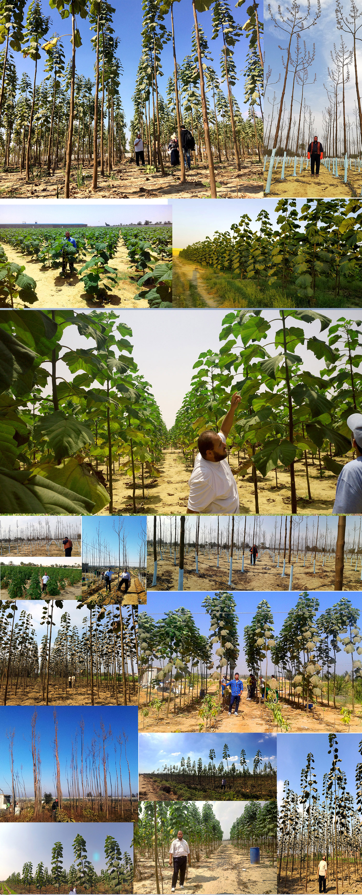 مزارع باولونيا فى مصر