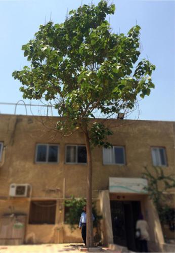 شجرة باولونيا عرابى 5 سنوات